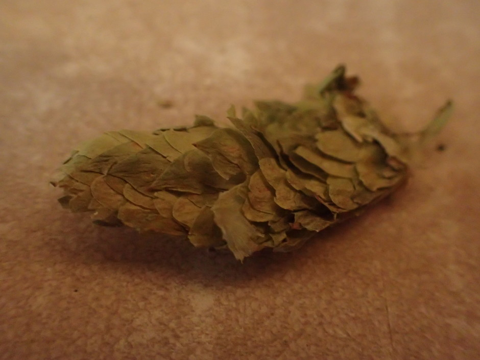 Close up of a single Cascade hop